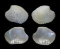 Haliris pygmaea.png