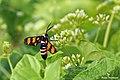 Handmaiden Moth - Euchromia sp. (37617810070).jpg