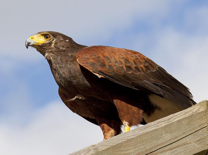 Birds' Name in Balochi and English 800px-Harris_Hawk_1b_%285087160692%29