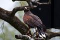 Harriss Hawk (7913339378).jpg