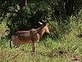 Hartebeest, Tarangire National Park (1) (28684315016).jpg