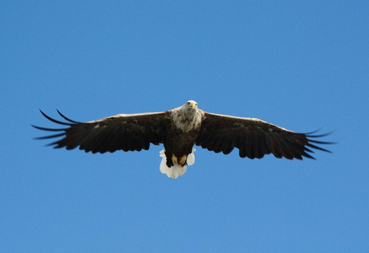 Орлан белохвост описание и места обитания