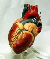 Um cora��o humano onde existem fibras musculares diferenciadas