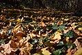Hedera helix, Bršljan prekriven lišćem.jpg