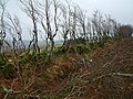 Hedge thinning - geograph.org.uk - 679236.jpg