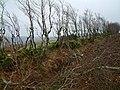 Hedge thinning - geograph.org.uk - 679236.jpg