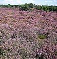 Heide, mantinge - panoramio.jpg