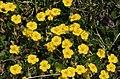 Helianthemum oelandicum ENBLA04.jpeg