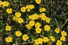 Helianthemum oelandicum ENBLA04.jpeg