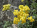 Helichrysum orientale-Χαράδρα Χα.jpg