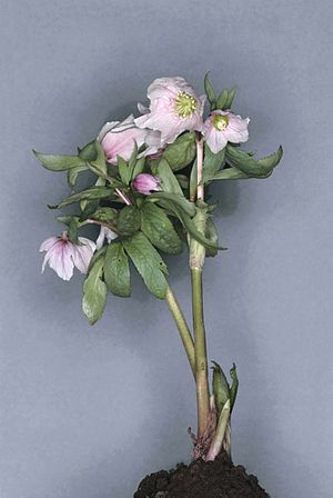 Hellebore - Helleborus thibetanus