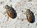 Helophorus aquaticus01.jpg