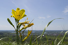 Hemerocallis minor in Tomsk Oblast.jpg