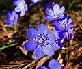 Hepatica Flower 3208.jpg