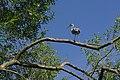 Heron near Park Bridge - geograph.org.uk - 517597.jpg