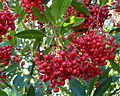 Heteromeles arbutifolia 01.jpg