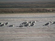 Heuglin's Gullsuncommon winter visitor