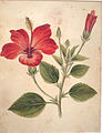 Hibiscus. Company school, 19th cent. BKB 3(I) 12045.JPG