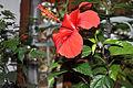 Hibiscus rosa- sinensis China Hibiscus ჩინური ვარდი.JPG