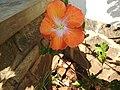 Hibiscus rosa sinensis hybrid-38-hanuman temple-muluvi-yercaud-salem-India.jpg