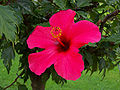 Hibiskus rosa-sinensis - Kwiat 02.jpg