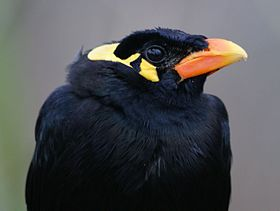 Hill Myna (Gracula religiosa intermedia), Thrigby Hall.jpg