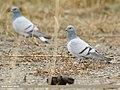 Hill Pigeon (Columba rupestris) (48332424807).jpg