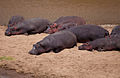 Hippos at Maasai Mara National Reserve Kenya.jpg