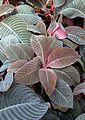 Hoffmannia refulgens kz1.jpg