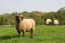 A ram with a thick tan coat of hair and large white horns that curl back on themselves forming a loop, in a large grassy field. Two more sheep are in the background.
