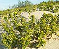 Honckenya peploides kz2.jpg