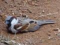 House Male Sparrow.jpg