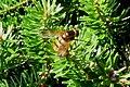 Hoverfly (FG) (8204733298).jpg