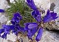 Hrvatsko zvonce, Edraianthus granifolius var. croaticus Kerner.jpg