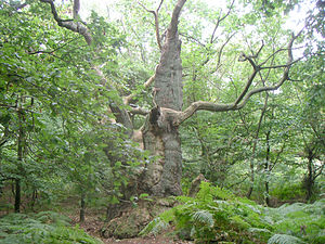 Vilm - An ancient oak tree on Vilm