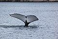 Humpback whale tail (5945841589).jpg