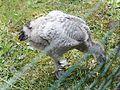 Husa kuří 7057.jpg