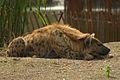 Hyène tachetée.jpg