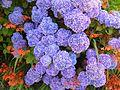 Hydrangea purple blue hydrangea macrophylla.jpg