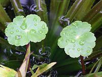 Hydrocotyle ranunculoides.jpg
