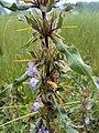 Hygrophila auriculata 01.JPG