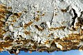 Hymenochaete curtisii (Berk.) Morgan 855269.jpg