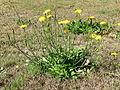 Hypochaeris radicata plant2 (14652521873).jpg