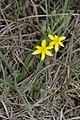 Hypoxis sp. (Hypoxidaceae) (4582069904).jpg