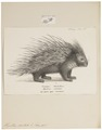 Hystrix cristata - met poot - 1700-1880 - Print - Iconographia Zoologica - Special Collections University of Amsterdam - UBA01 IZ20600037.tif