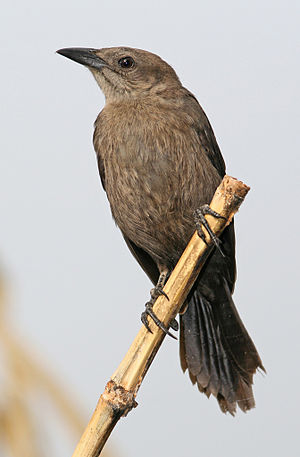 Carib grackle - Immature Carib grackle
