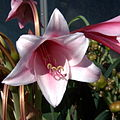 IMG 8180-Crinum bulbispermum.jpg