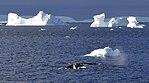 Icebergs Flandes 2.jpg