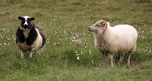 """Icelandic sheep - Icelandic sheep exist in a variety of colors. The sheep on the left carries at least one """"black"""" allele on the color gene, two """"solid"""" alleles on the pattern gene, and two """"spotting"""" alleles on the spotting gene. The sheep on the right has at least one """"white"""" allele on the pattern gene, which conceals any other colors and patterns it may have."""