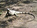 Iguana en la plaza Sucre de Cagua - panoramio.jpg